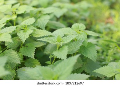 Photo of a plant nettle. Nettle with fluffy green leaves. Background Plant nettle grows in the ground. Nettle on a natural background