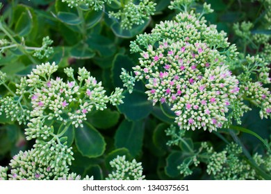 Photo of a plant with small pink flowers in daylight. placating image of fresh greens.