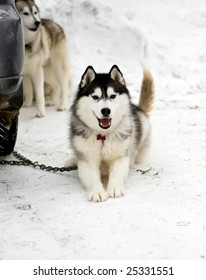 Photo of a playful young Husky dog near the dog sled races