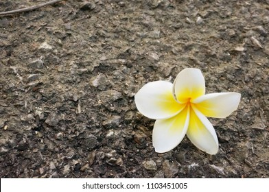 A photo of Plumeria flowers on asphalt road background, Close up