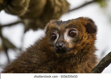 photo portrait of a Red bellied Lemur