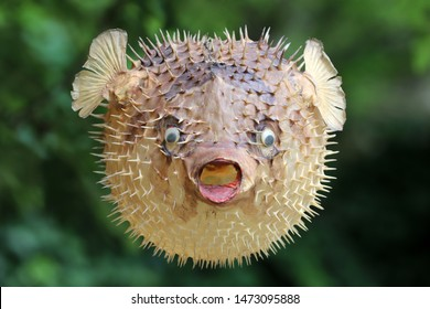 Photo of a prepared blowfish against blurred background