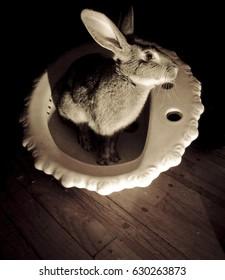 photo of pretty chinchilla rabbit