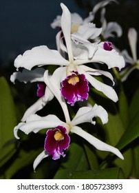 A photo of a pretty white and purple orchid species, known as Laelia purpurata (Latin name).
