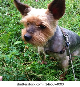 Photo puppy dog ​​breed Yorkshire Terrier. Puppy Yorkshire Terrier for a walk. Dog on the background of green grass.