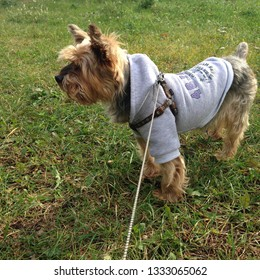 Photo puppy Terrier. Puppy dog ​​walks on the grass. The Yorkie dog is wearing in gray sport  jacket coat clothes.