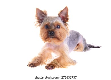 Photo Puppy Yorkshire Terrier. Portrait. Isolated on White Background