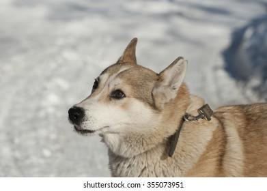 Photo purebred Siberian husky