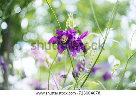 Photo purple flowers garden common names stock photo edit now a photo of purple flowers in a garden common names of aquilegia grannys bonnet mightylinksfo