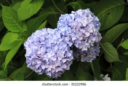 Photo of a purple hydrangea bush with large blooms