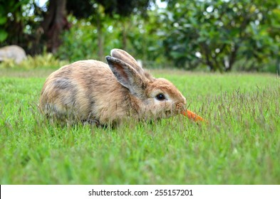 a photo of a rabbit eating carrot.