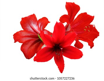 A photo of Red Amaryllis Hippeastrum flower isolated on white background, clipping path.