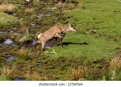 Photo of a Red Deer