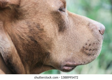 Red Nose Pitbull Images, Stock Photos & Vectors | Shutterstock