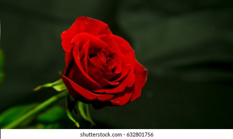 Photo of a red rose on a black background