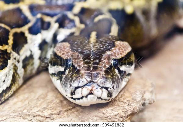 Foto da cabeça de python reticulada em rosto cheio