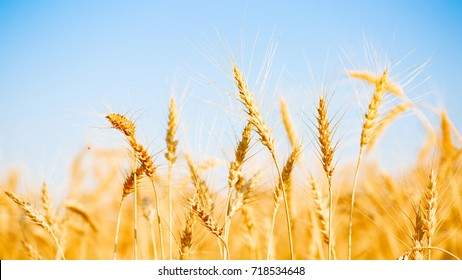 Photo of ripe wheat spikes