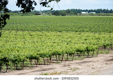 A photo of a road and field of grapevines at a farm in the Sacramento-San Joaquin Delta area.