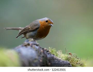 A photo of a Robin Bird