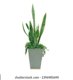 A photo of the Sansevieria trifasciata also known as the Mother in Law's Tongue, Snake Plant, and Viper's Bowstring Hemp, in a green pot isolated on a white background.
