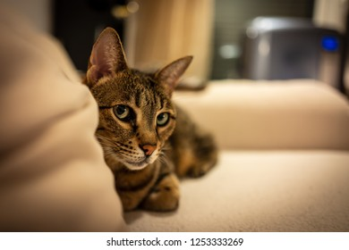 Photo of a Savannah cat