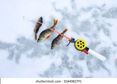 Photo scene with ice winter fishing. Caught fish perch on ice and snow near short winter fishing rod with a hook or lure on line top view. The idea of  successful productive sport fishing