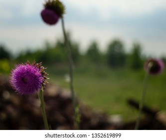 Photo of Scotch Thistles growing along Torrence Avenue in South Deering Chicago