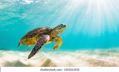 photo of Sea turtle in the Galapagos island - Shutterstock ID 1453313555