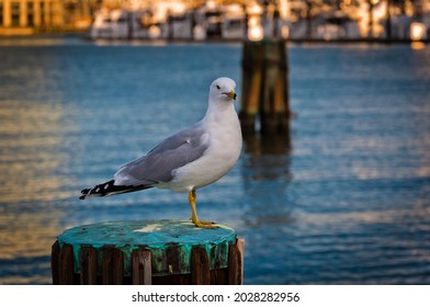 Photo of a Seagull, at Baltimores Inner Harbor, Maryland USA