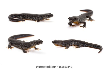 Photo set of great crested newt in isolated on white