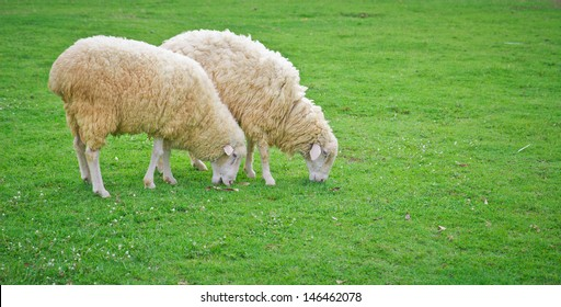 a photo of sheep in green field farm