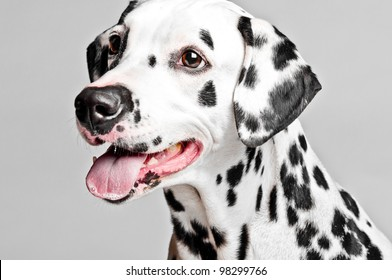 Photo shoot of a dalmatian puppy
