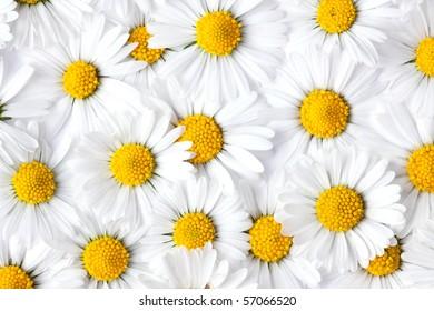 photo shot of daisy background