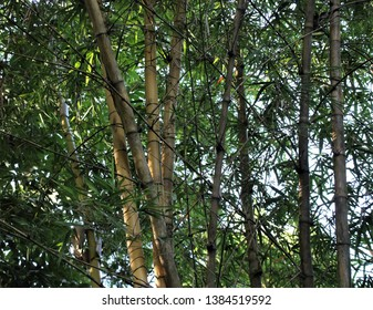 Photo shows bamboo trees (Bambusoideae) growing in a forest. The bamboo is a sought after building material with many uses. It is also an ecologically friendly building materials for houses.