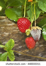 photo shows a close up of Botrytis Fruit Rot or Gray Mold of strawberries