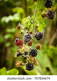 photo shows a close up of Botrytis fruit rot or gray mold on blackberries