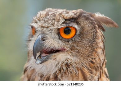 Photo shows close-up of mighty brown owl in summer.