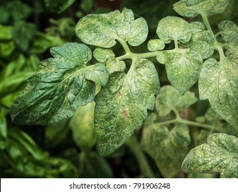 photo shows a colonie of spider mites (Tetranychus spp.) ruining a tomato plant