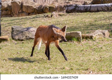the photo shows a dezert fox in the wild in spring 2020 - Shutterstock ID 1694337439