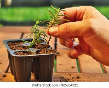 photo shows a hand holding a clipping (with fresh new roots) of rosemary before potting