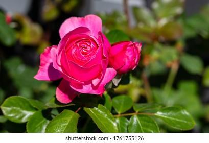 Das Foto zeigt einen Rosenstrauch in der Sonne