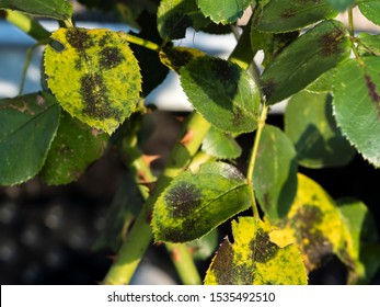 photo shows some leaves ifected  with blackspot fungus Diplocarpon rosae
