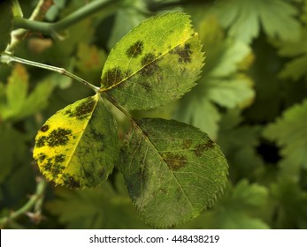 photo shows some leaves of roses infected by blackspot fungus