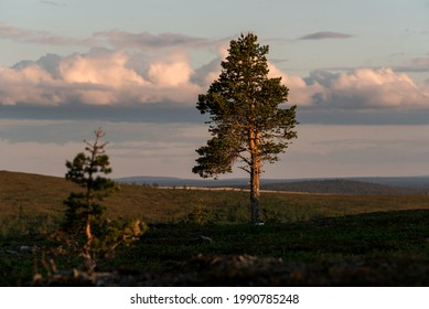 Photo of a single majestic pine tree on a hill