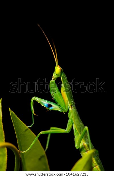 A photo of a single New Zealand Mantis (Orthodera novaezealandiae) extremely rare, threatened by non-native mantids. Climbing on a jasmin plant, with a black background. Photographed in New Zealand.