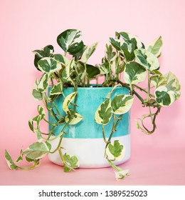Photo of the Snow Queen Pothos (Epipremnum Aureum Snow Queen) pot plant also known as Devil's Ivy, with  variegated white, cream & green leaves in an aqua & cream pot isolated on a pink background.