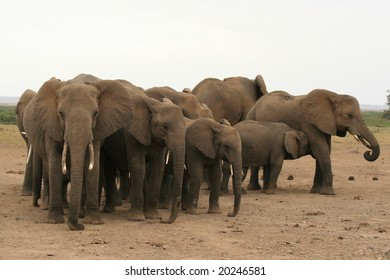 A photo of some African elephants in the wild