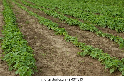 photo of some cucumber growing in the field