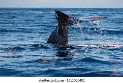 Photo of a sperm whale's tail fin lifting out of the water as it dives down off the coast of Roseau, Dominica.  Whale-watching tour boats are widely available in the area.