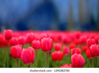 Photo of spring field with red tulips macro in park